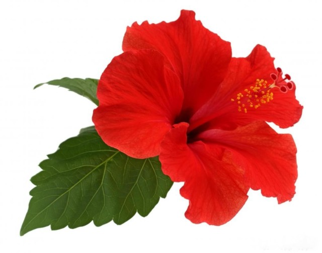 hibiscus-flower-bloom
